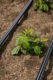 开始莓的植物增长在春天 免版税库存图片