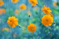 开始蓝色开花的花黄色的背景 在美好的背景的黄色波斯菊花 选择聚焦 库存照片