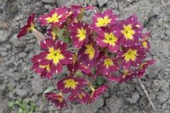 开始寻常dof樱草属浅的春天 免版税图库摄影