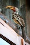 开帐单的犀鸟南部的黄色 免版税图库摄影