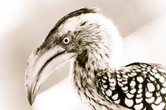 开帐单的犀鸟黄色 免版税库存照片