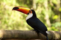开帐单的秋天iguazu橙色toucan 图库摄影