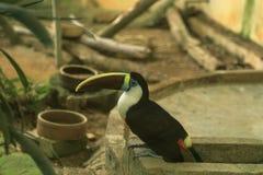 开帐单的红色toucan 库存图片
