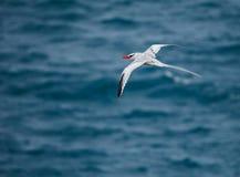 开帐单的红色tropicbird 免版税库存照片