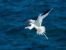 开帐单的红色tropicbird 库存图片
