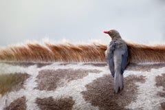 开帐单的黄牛啄木鸟红色 免版税图库摄影