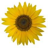 开张向日葵黄色开花  库存图片