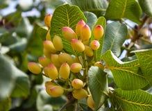 开心果植物 免版税图库摄影