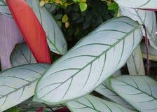 开心果Billbergia -抽象自然本底绿色叶子与静脉的 免版税库存照片