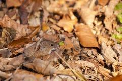 开户在秋天/Myodes glareolus伪装的田鼠 库存图片