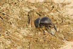 开掘入一些大象粪便的甲虫 图库摄影