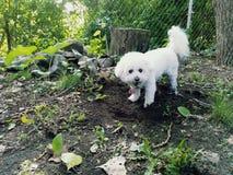开掘入土的Bischon 库存图片