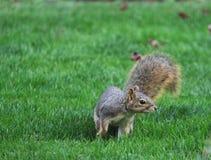 开掘和看在围场的灰鼠 免版税库存照片
