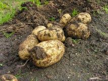 开掘土豆出于地面 库存图片
