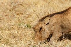 开掘在地面的共同的warthog 免版税图库摄影