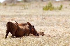 开掘在地面的Warthog 免版税库存图片