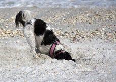 开掘在沙子的猎犬 免版税图库摄影