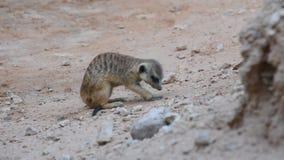 开掘在沙漠海岛猫鼬类suricatta的岩石附近的meerkat 股票录像
