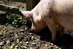 开掘在泥的猪口鼻部 库存照片