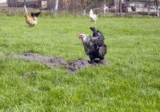 开掘在草坪的地面的黑白母鸡 免版税库存图片
