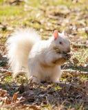 开掘在被存放的坚果的泥的白色灰鼠 库存图片