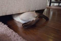 开掘在长沙发下的傻的暹罗小猫 免版税库存图片
