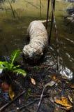 开掘在水中的狗 免版税库存照片