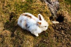 开掘孔的兔子 库存图片