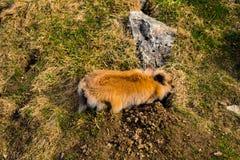 开掘孔的兔子 免版税库存图片