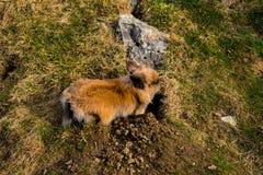 开掘孔的兔子 库存照片