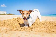开掘孔的狗 免版税库存照片