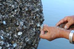开掘牡蛎 免版税库存图片