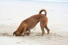 开掘的狗 库存照片