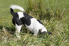 开掘的狗 库存图片