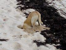 开掘的狗 免版税库存图片