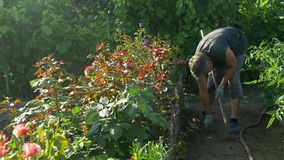 开掘的花匠和松开土壤近玫瑰色花灌木和藤葡萄 股票录像