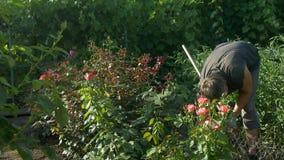 开掘的花匠和松开土壤近玫瑰色花灌木和藤葡萄 影视素材