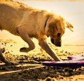 开掘的金毛猎犬沙子 免版税库存照片