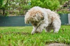 开掘的马尔他shih tzu混杂的狗 库存图片