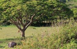 开放吃草的领域的图象与吃草的庇荫树和的母牛的 免版税库存照片
