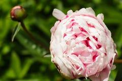 开放在右边的浅粉红色的牡丹花 免版税图库摄影