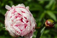 开放在左边的浅粉红色的牡丹花 免版税库存照片