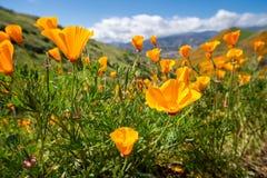 开放在超级绽放期间的美丽的鸦片在步行者峡谷的南加州 库存图片