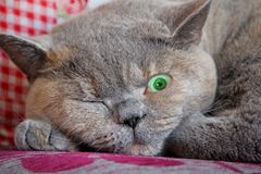 开放小一只眼睛的猫 免版税库存照片