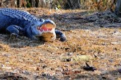 开放巨大的美国短吻鳄的嘴,佛罗里达沼泽地 库存图片
