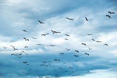 开放开帐单的鹳或亚洲openbill鸟小组飞行在天空 库存图片