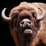 开放水牛的嘴 免版税库存照片