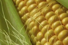 开放玉米棒的玉米 免版税库存照片