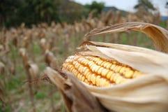 开放的玉米 免版税图库摄影