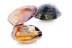 开放的蛤蜊 库存图片